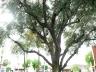 exterior-olivetree